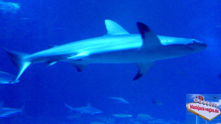 Las Vegas Sehenswürdigkeit Shark Reef Mandalay Bay