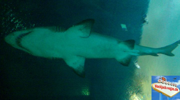 las-vegas-attraktion-mandalay-bay-shark-reef-hai-03
